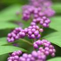 Photos: 小紫2(こむらさき)