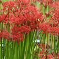 Photos: 満開に咲く赤い花1