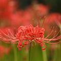 Photos: 満開に咲く赤い花3