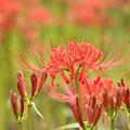 Photos: 満開に咲く赤い花4