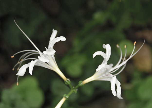 Photos: 白い彼岸花