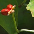 花水木の果実