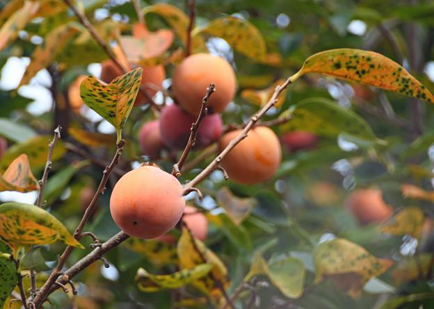 たわわに実る柿