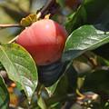 夕焼け色の甘美な柿