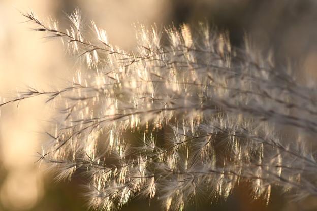 光る花穂2