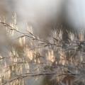 光る花穂3