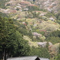 高峯の山桜