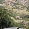 Photos: 高峯の山桜