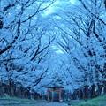 Photos: 春宵桜