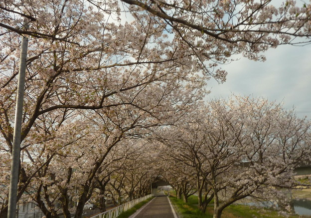 21-夢前川の桜0001