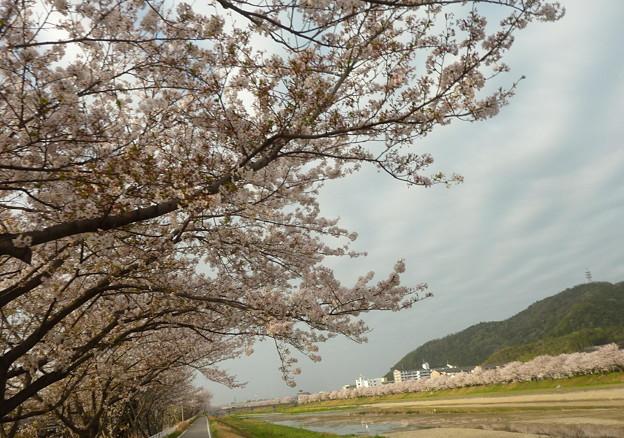 21-夢前川の桜0002
