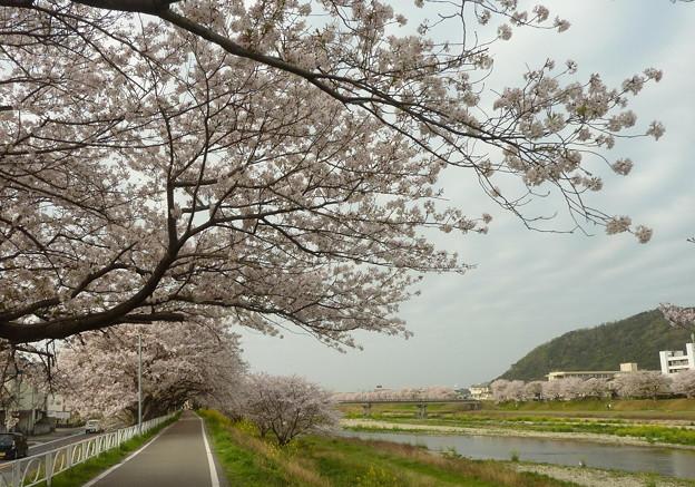 21-夢前川の桜0003
