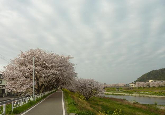 21-夢前川の桜0004