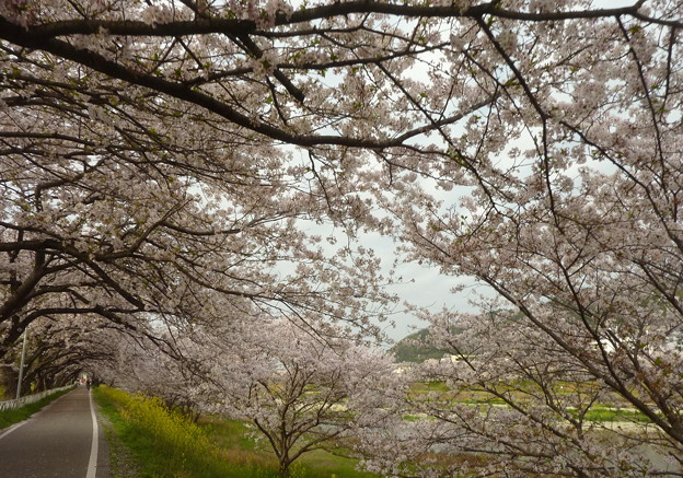 21-夢前川の桜0005