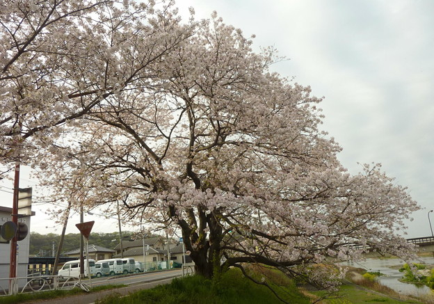 21-夢前川の桜0006