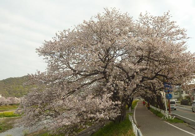 21-夢前川の桜0007