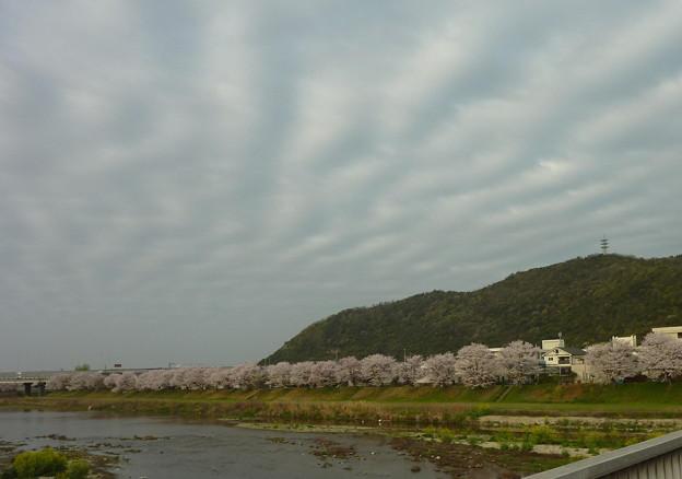 21-夢前川の桜0008