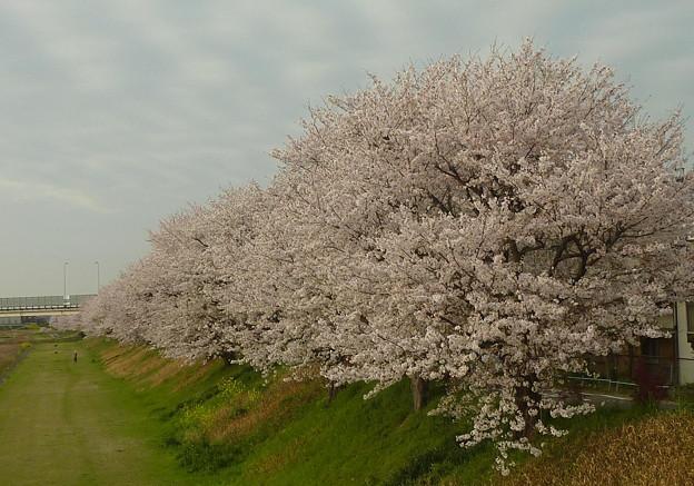21-夢前川の桜0009