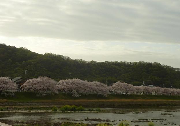 21-夢前川の桜0010