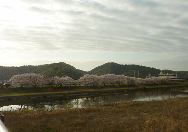 21-夢前川の桜0016