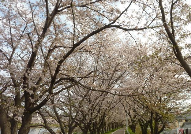 21-夢前川の桜0017