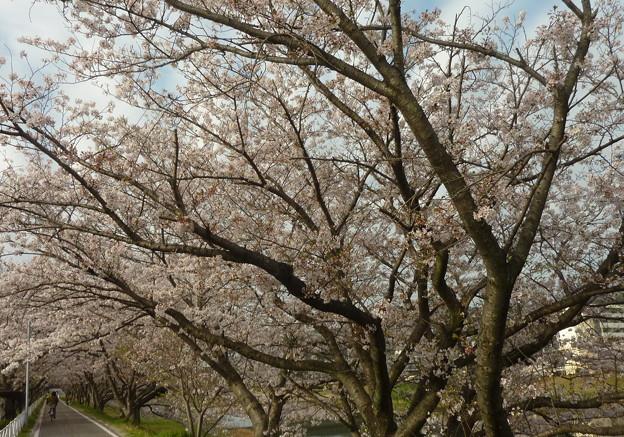 21-夢前川の桜0018