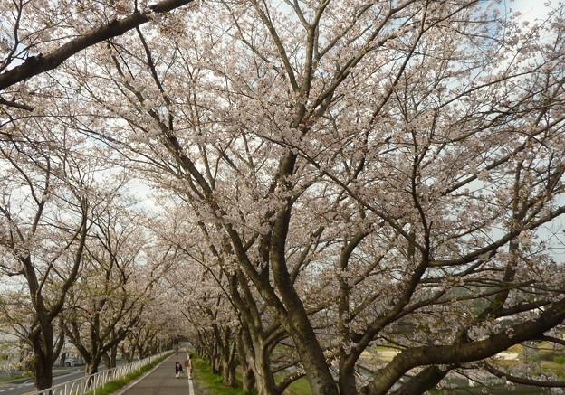 21-夢前川の桜0019