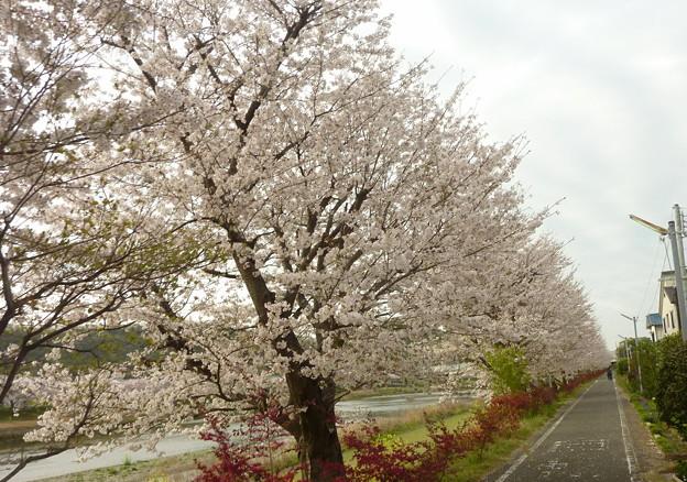 21-夢前川の桜0011