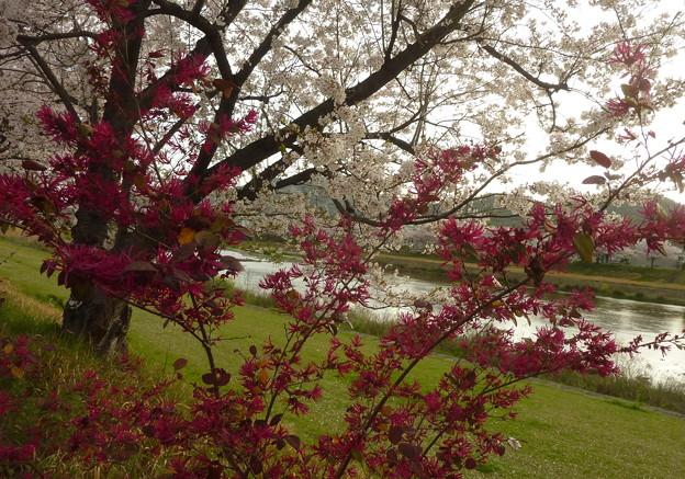 21-夢前川の桜0012