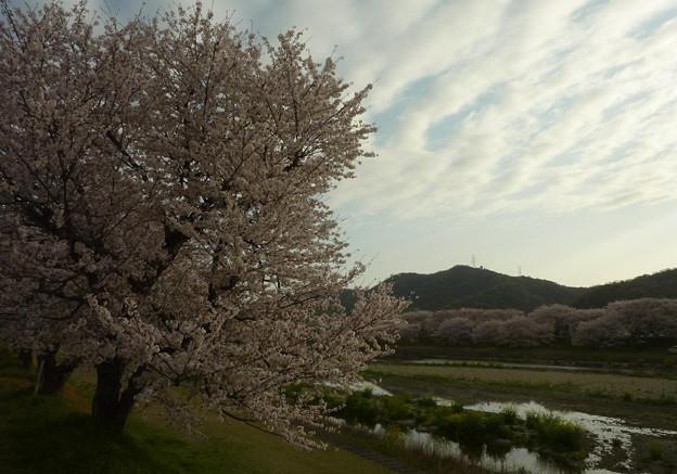 21-夢前川の桜0013