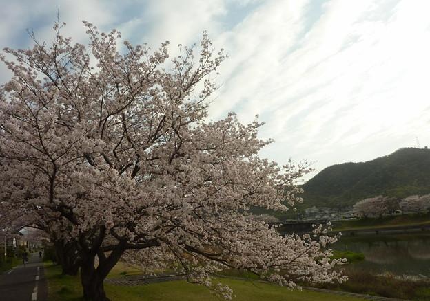 21-夢前川の桜0015