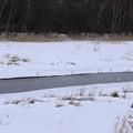 ダイサギ 長沼用水路-4
