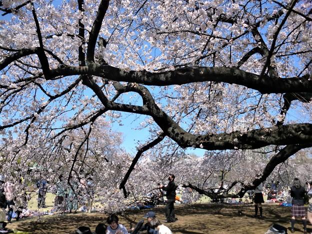 ソメイヨシノの巨樹