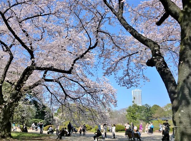 頭上を覆う桜花