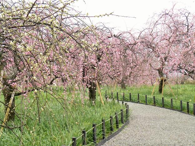 梅の散歩道