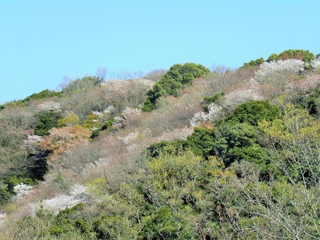 上人山の桜(一見吉野風)