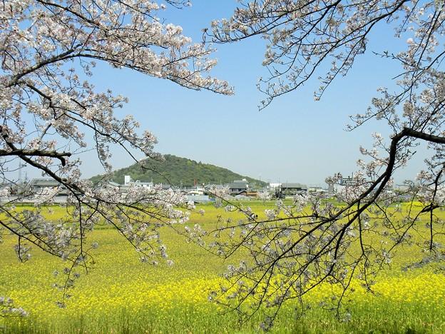 耳成山と菜の花と桜と