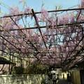 泉南市の藤祭りは中止