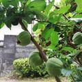 木瓜の実豊作