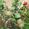 我が家の木瓜の実