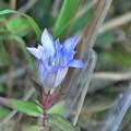砥峰の花(リンドウ)