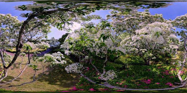 城北公園 ヒトツバタゴ 360度パノラマ写真(2) HDR