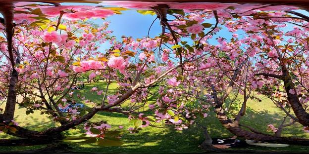 駿府城公園 八重桜 360度パノラマ写真 (1)