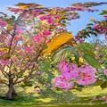 駿府城公園 八重桜 360度パノラマ写真 (2)