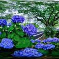 長尾川右岸 紫陽花 360度パノラマ写真(2)