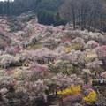 Photos: 幻の梅園