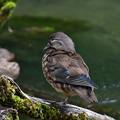 オシドリ 幼鳥