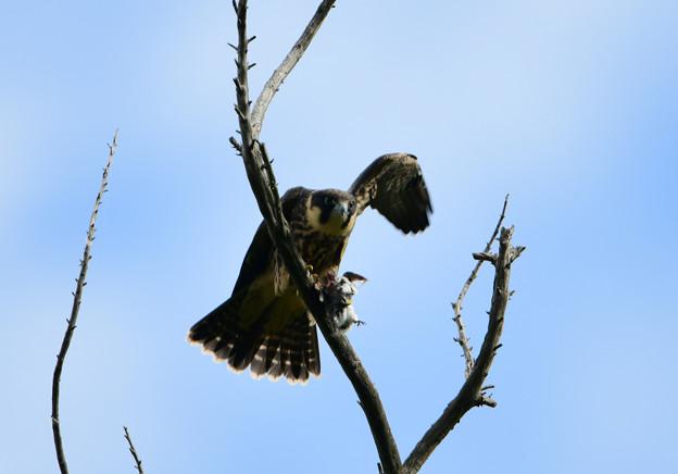 チゴハヤブサ 幼鳥