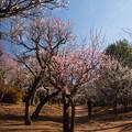 Photos: 梅園散歩1