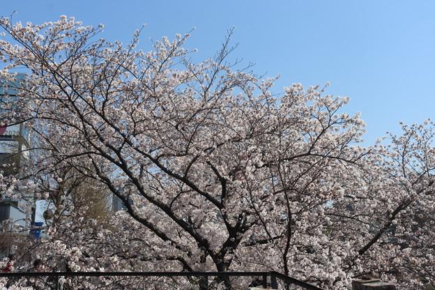 市ヶ谷の桜 IMG_62280